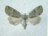 9998 Brachylomia algens (local and very rare)