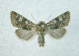 10005 Feralia jocosa form furtiva(form not common)