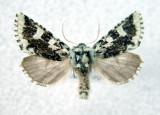 10005 Feralia jocosa form jocosides(form uncommom)