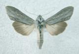 931508 (10197) Cucullia florea (Rare)