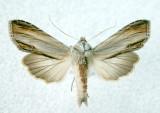 10202 Cucullia convexipennis (Rare)