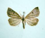 930520 (8370) Bleptina caradrinalis