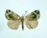 930566 (8445) Hypena(Bomolocha) abalienalis