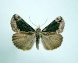 930562 (8442) Hypena(Bomolocha) baltimoralis