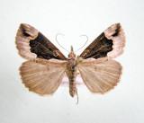 930562 (8442) )Hypena(Bomolocha) baltimoralis