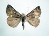 930564 (8443) Hypena(Bomolocha) bijugalis