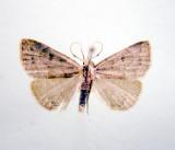 930502 (8355) Chytolita morbidalis