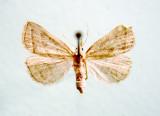 930508 (8357) Macrochila absorptalis