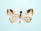 930592 (8404) Rivula propinqualis