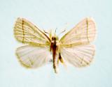 930498 (8351) Zanclognatha cruralis