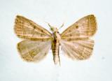 930494 (8353) Zanclognatha ochreipennis