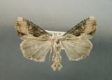 932363 (9364,1) Lateroligia ophiogramma (Esper, 1793)