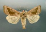 932458 (9514) Hydraecia micacea