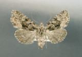 932699 (9419) Platypolia mactata