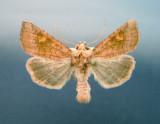 932447 (9457) Amphipoea americana