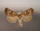932506 (9502) Papaipema nelita -Very rare/Tres rare