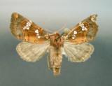 932473 (9490) Papaipema nepheleptena Tres rare/Very rare