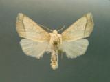 932505 (9503) Papaipema rigida- Rare