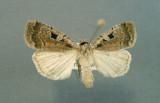 933569 (11008) Eueretagrotis parattentus