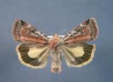 933553 (11012) Cryptocala acadiensis