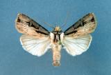 933521 (10659) Agrotis volubilis