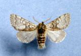 931401 (9185) Colocasia propinquillinea Male