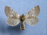 931401 (9185) Colocasia propinquillinea  Female