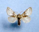 931400 (9184) Colocasia  flavicornis