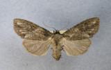 10291 Morrisonia  latex 2