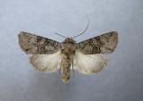 10372 Lacinipolia anguina - Very Rare /Tres rare