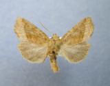 10405 - 933052 Lacinipolia lorea