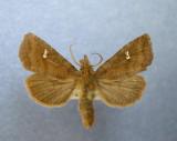 933193 (10627) Tricholita signata