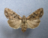 932878 (10296) Lacanobia nevadea