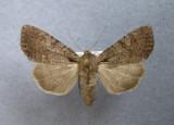 932880 (10298) Lacanobia radix