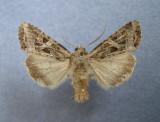 932889 (10307) Trichordestra lilacina