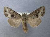 932892 (10310a) Papestra quadrata ingravis - Tres rare/Very Rare