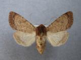 10265 Sideridis rosea - Occasionnel