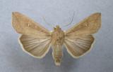 10438 Mythimna unipucta was Pseudaletia