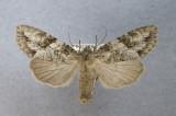 10291 Morrisonia latex
