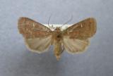 933128 (10578) Pseudorthodes vecors