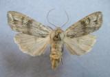 9878 Lithomoia germana
