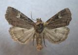 9967 Hillia iris form vigilans