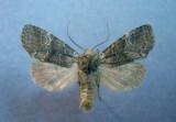 9999 Brachylomia discinigra  - Uncommon to rare
