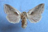 932517 (9525) Bellura obliqua - female