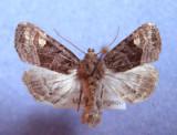 932290 (9545) Euplexia benesimilis