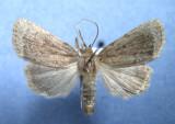 9640 Amphipyra glabella  - Rare