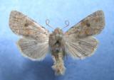 10495 Orthosia hibisci