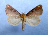 932444 (9520) Achatodea zeae - Rare