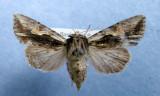 932802 (10520) Morrisonia evicta - female Rare