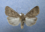 9653 Caradrina morphus